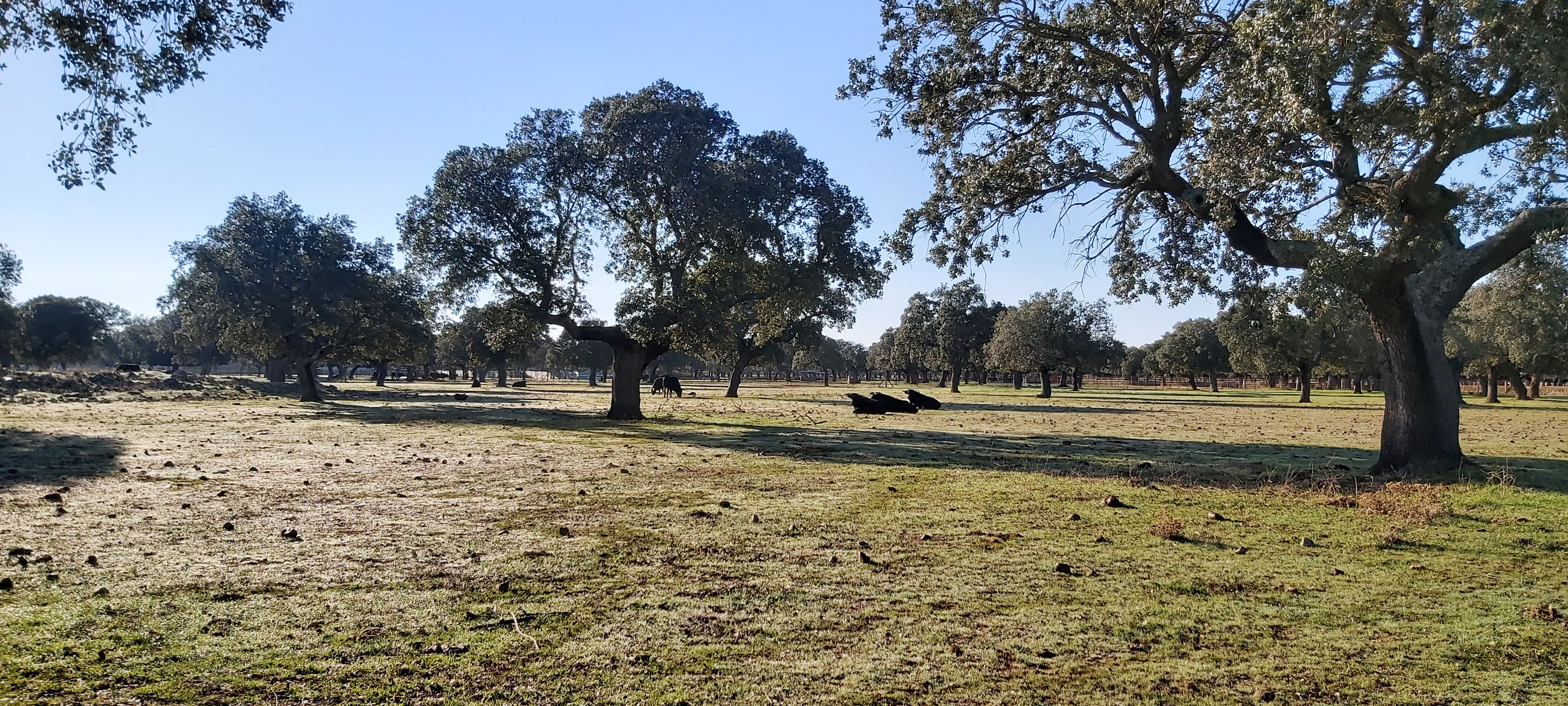 Les toros au campo